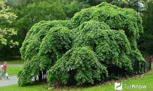Вяз сродный: описание и особенности выращивания, применение