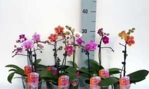 Примеры сортов орхидей мини-фаленопсисов