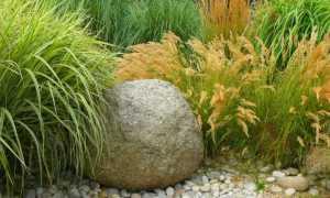 Манник большой – Glyceria maxima, Glyceria aquatica: фото, условия выращивания, уход и размножение