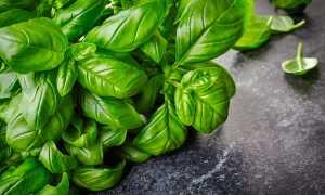 Зелёный базилик: описание полезных свойств и выращивание