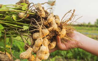 Как растет арахис в открытом грунте