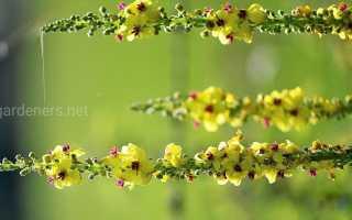 Коровяк (фото растения) – секреты, советы, рекомендации.