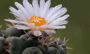 Телокактус щетинкоколючковый – Thelocactus (Hamatocactus) setispinus: фото, условия выращивания, уход и размножение
