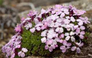 Смолевка одноцветковая – Silene uniflora: фото, условия выращивания, уход и размножение