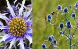 Синеголовник посадка и уход в открытом грунте Выращивание из семян на рассаду Фото видов