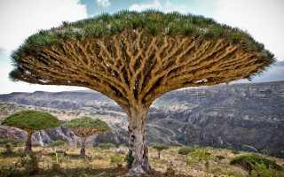 Драконовое дерево: уход, полив, фото, пересадка, вредители