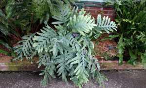 Флебодиум золотистый – Phlebodium aureum: фото, условия выращивания, уход и размножение