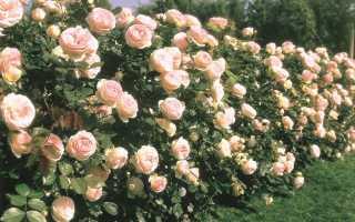 Pierre de ronsard роза