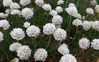 Армерия приморская: описание с фото, где растет, свойства