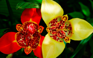 Тигридия (Tigridia) — описание, выращивание, фото
