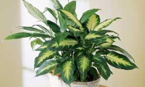 Комнатный цветок диффенбахия, польза и вред растения для человека, правила выращивания цветка
