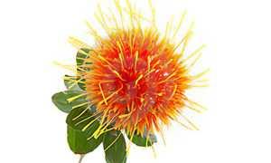 Растение сафлор полезные свойства и применение Посев и выращивание