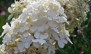 Посадка садовой гортензии метельчатой в открытый грунт
