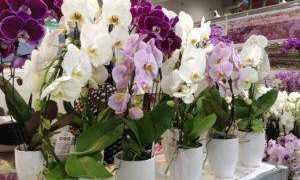 Уход за орхидеей в горшке после покупки