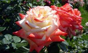 Описание розы сорта императрица фарах
