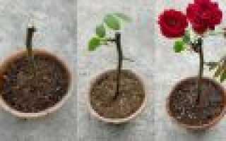Как выращивать розы из черенков