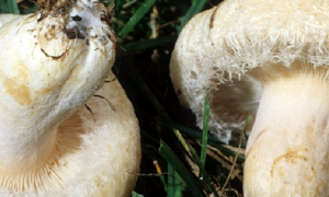 Гриб белянка: фото и описание, съедобный или нет, применение в кулинарии и медицине