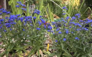 Анхуза или Воловик: фото видов, посадка и выращивание из семян в саду
