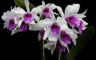 Что делать если у орхидеи белые корни (налет)