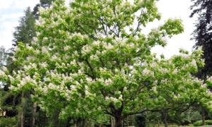 Дерево счастья: уход, полив, фото, пересадка, вредители