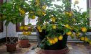 Уход за лимоном в домашних условиях зимой и можно ли пересаживать в квартире, как поливать и чем подкормить комнатный лимон