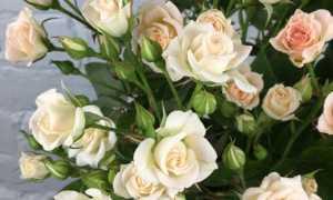 Условия выращивания миниатюрных роз в домашних условиях
