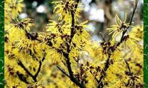 Гамамелис весенний – Hamamelis vernalis: фото, условия выращивания, уход и размножение