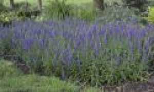 Вероника цветы многолетние