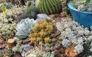 Садовые суккуленты: виды, пригодные для посадки в открытый грунт