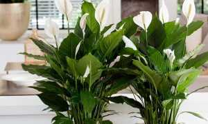 Всегда прекрасный спатифиллум Домино: особенности вида и тонкости выращивания