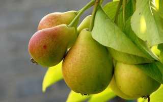 Дерево груша: посадка и уход, фото, обрезка, прививка, описание сортов, болезни и вредители