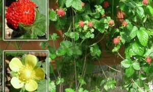 Дюшенея или лапчатка индийская: съедобная или нет? Выращивание из семян Посадка и уход