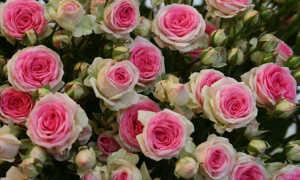 Mini Eden — французская красавица с долгим цветением