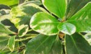 Коринокарпус гладкий – Corynocarpus laevigatus: фото, условия выращивания, уход и размножение