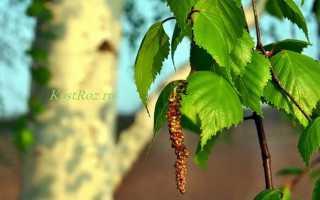 Береза болотная: описание и особенности выращивания, применение