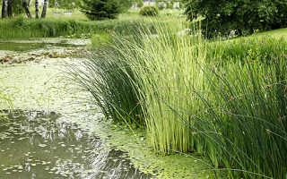 Камыш укореняющийся – Scirpus radicans: фото, условия выращивания, уход и размножение