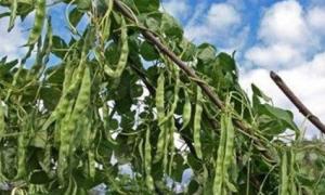 Условия выращивания и агротехника фасоли: посадка и уход