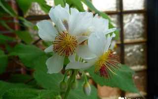 Спармания – Sparmannia: фото, условия выращивания, уход и размножение