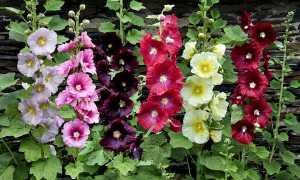 Мальва: выращивание, посадка и уход