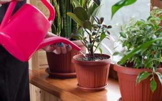 Кокосовая пальма в домашних условиях, посадка, уход, выращивание и размножение (+фото и описание)