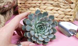 Эхеверия (каменная роза): 20 видов и разновидностей с фото