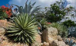 Голубая агава: как вырастить в домашних условиях национальный символ Мексики