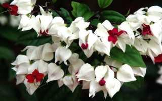 Клеродендрум: уход в домашних условиях, фото цветка, почему не цветет
