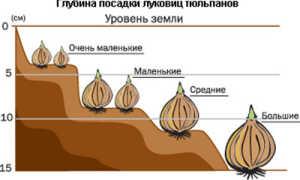 Как и когда сажать тюльпаны осенью: сроки высадки луковиц, агротехника