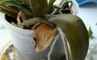 Почему сохнут орхидеи и что делать с желтыми листьями и высохшими цветами этих домашних растений?
