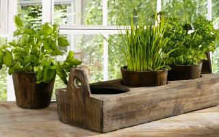 Условия выращивания в домашней обстановке
