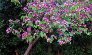Баухиния – орхидейное дерево в домашних условиях, фото, виды, уход и выращивание из семян