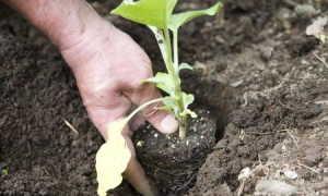 Чем подкормить баклажаны в августе во время плодоношения Подкормки во время цветения и для роста и завязи