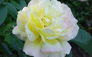 Глория Дей — мои первые розы