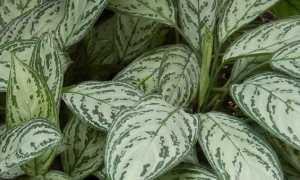 Аглаонема Изменчивая: описание, как выглядит цветок, фото